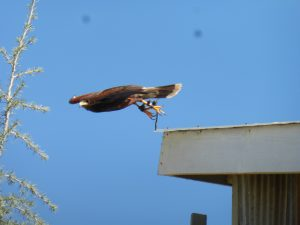 Hawk Watch & Cordiano Winery Run